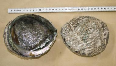 Räuchermuschel Abalone X-Large
